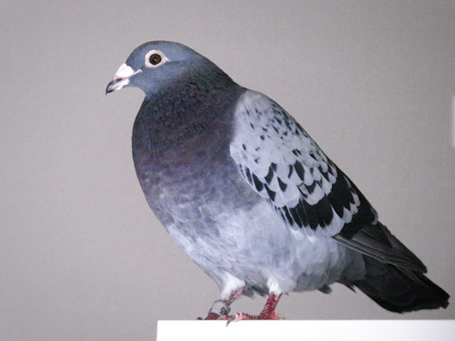 Blue Bar Racing Pigeon