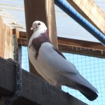 Tate is a gorgeous bachelor pigeon that would love to find a mate and a home