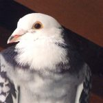 Santee is a beautiful rescued racer that needs an aviary home