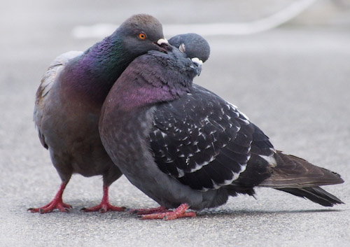 Feral Pigeon Pair Preening Each Other