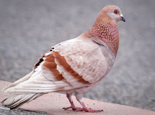 Red Coloration Pigeon