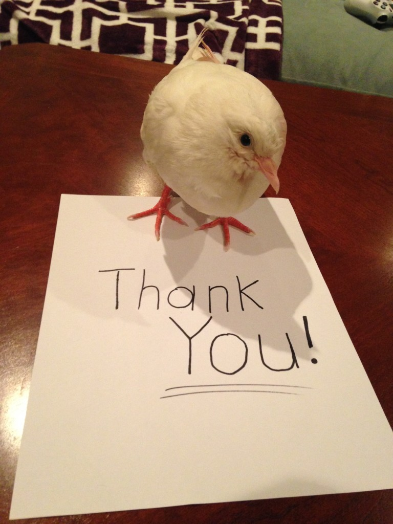 Rescued Baby King Pigeon Athena Thanks You