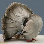 Fantail Pigeon Silver Barred