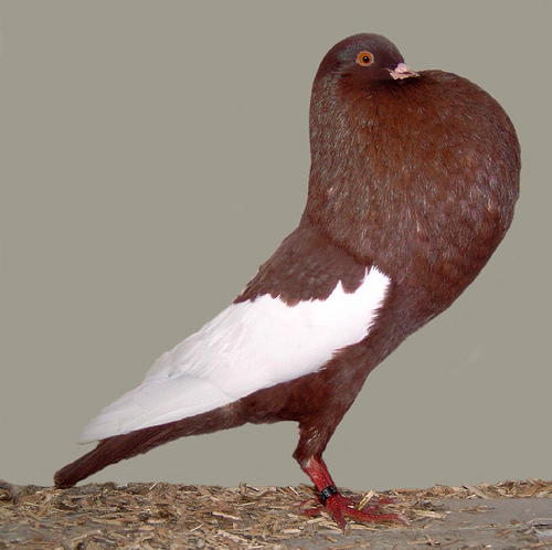 Fancy Pigeon Photo Gallery |