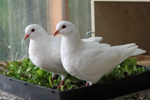 Growing vegetables for pigeons and pet birds