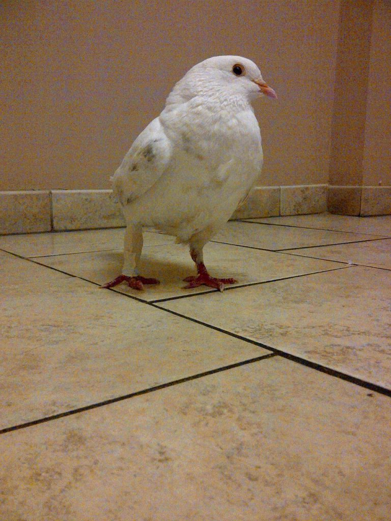 Injured pigeon's leg joint immobilized to heal