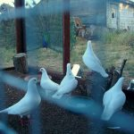 flock of rescued king pigeons in a nice aviary