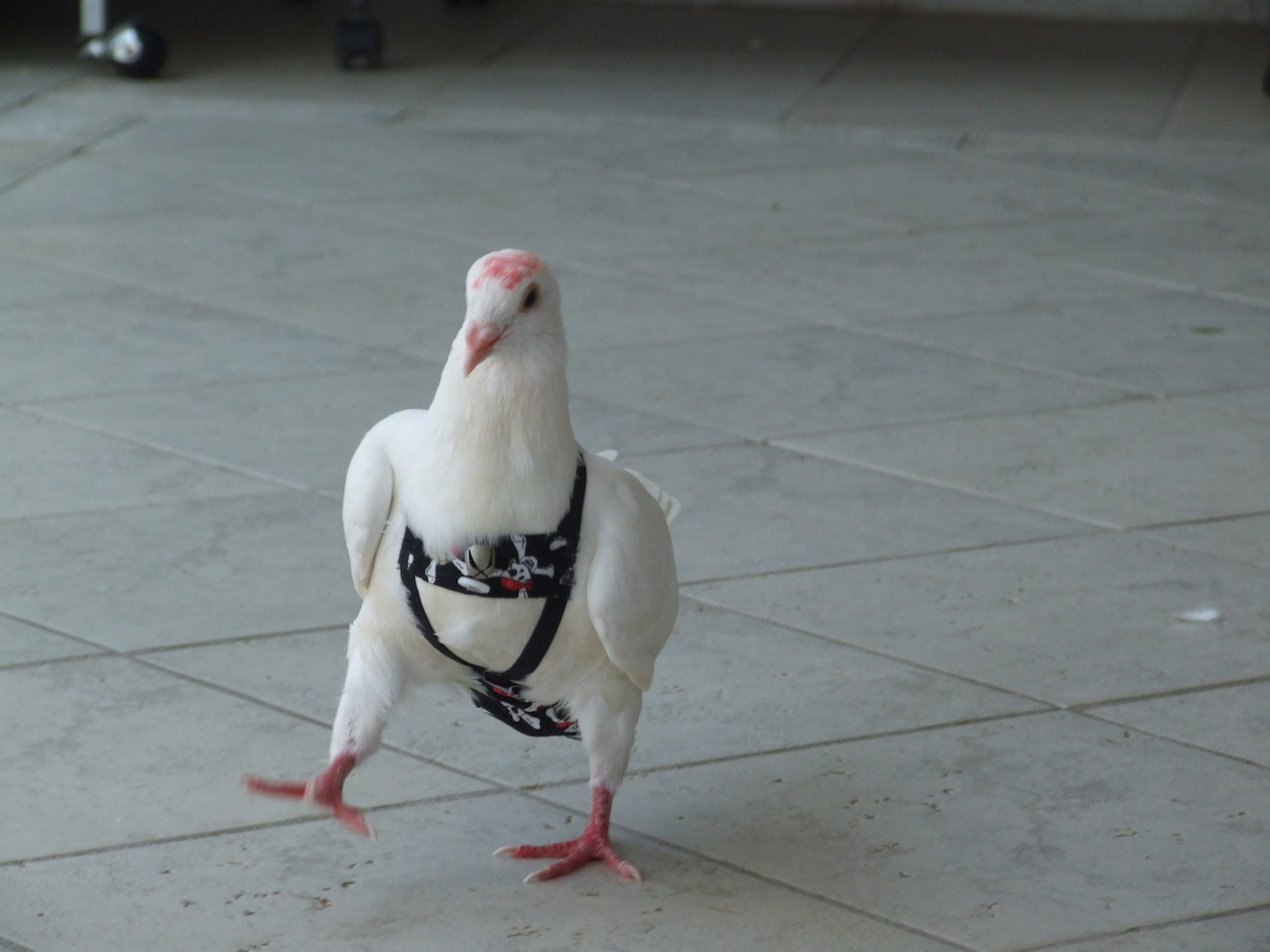 Pigeon's first steps in pants