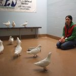 A flock of 12 king pigeons are assessed for rescue at SFACC