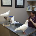 Rescued king pigeons at Medical Center for Birds