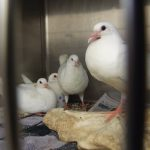 Four young king pigeons (sold as squab) in a shelter cage