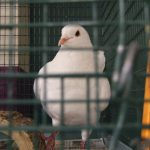 A king pigeon waits for rescue or death in the animal shelter