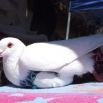 Mellow pigeon chilling at an outreach event