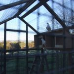 Happy pigeons adopted and living in a MickaCoo aviary