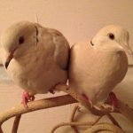 Rescued ringneck doves are a cute couple