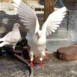 Happy pigeon celebrates after bathing