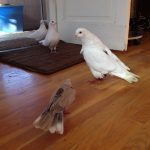 New foster pigeon Snow meeting his new neighbors- Lily the dove and Pearl & Leo (fellow pigeons)