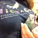 rescued pigeon Violet in the arms of outreach volunteer
