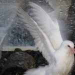 Happy rescued baby king pigeon celebrates with a bath