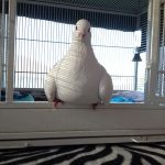 Rescued special needs pigeon perched on her cage door step