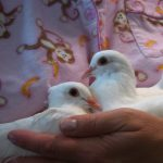 sick baby pigeons Polly & Sunny cradled in volunteers arms