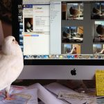 Pigeon looking at pictures of pigeons on computer