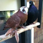 Rescued fancy West of England Tumbler and Indian Fantail pigeons