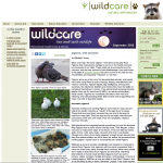 MickaCoo article about pigeons published in WildCare Newsletter