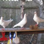 Three rescued king pigeons