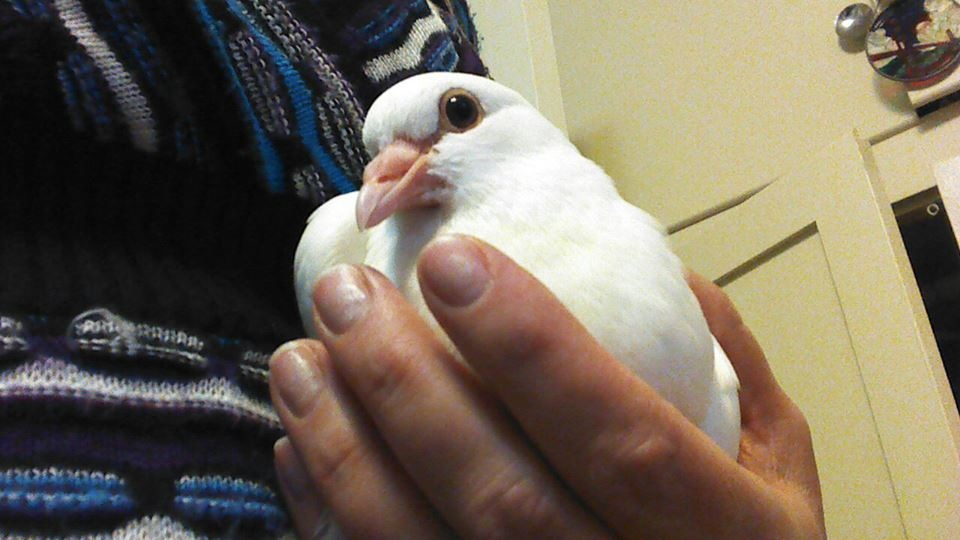 Rescued baby king pigeon