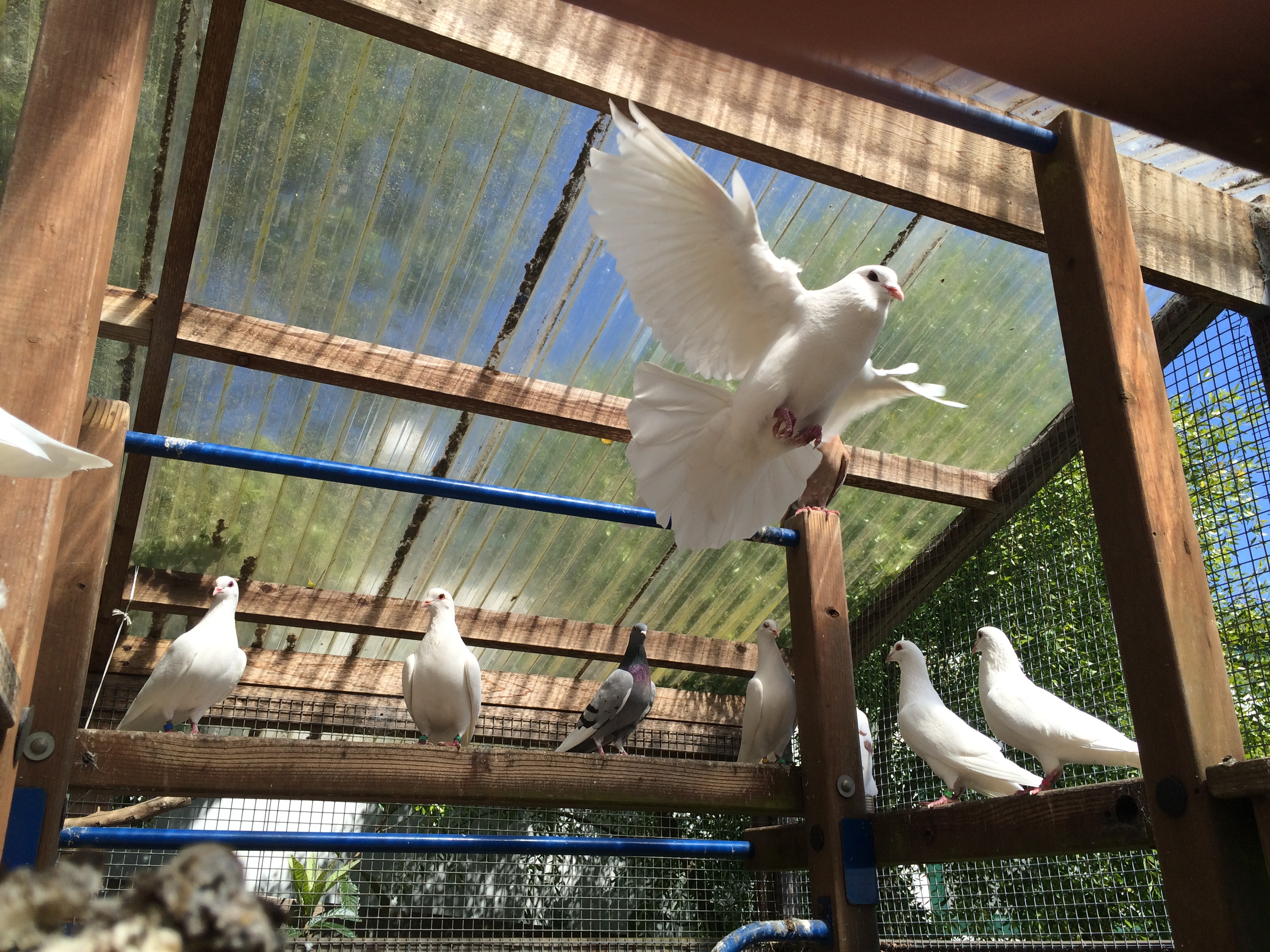 Domestic pigeons in an aviary