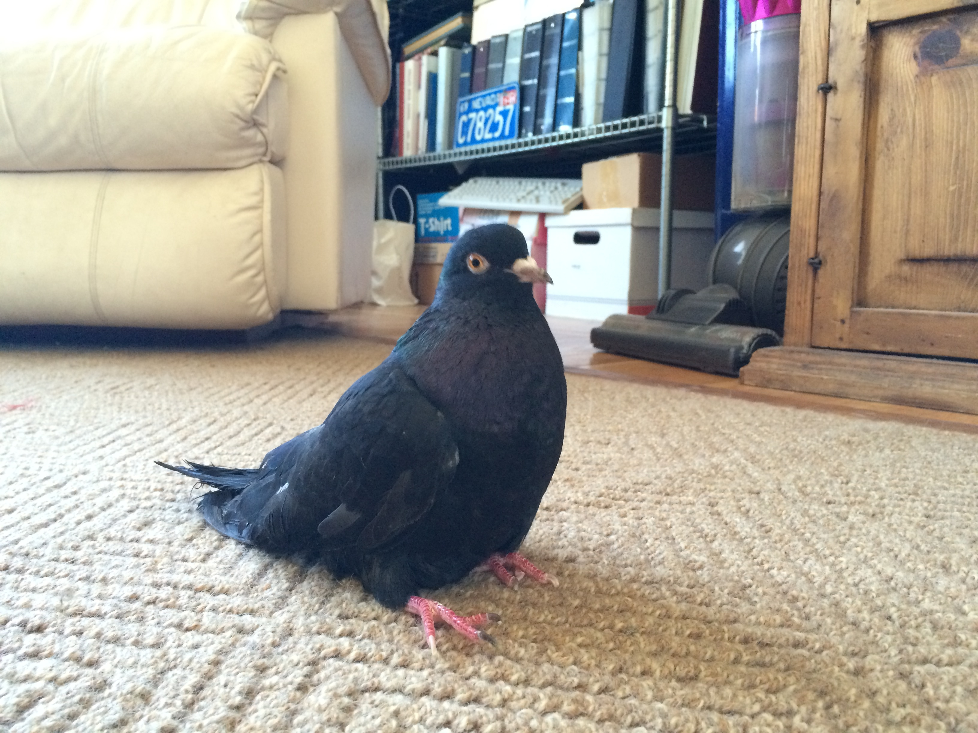 Injured Roller pigeon sits using her tail for support