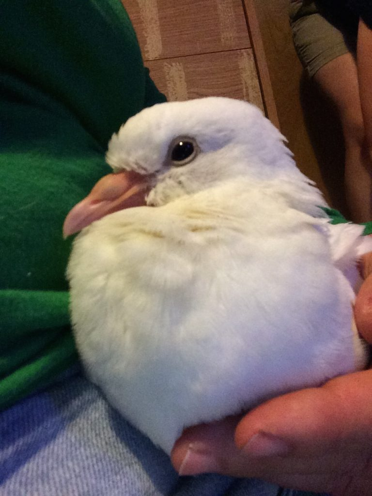 Baby pigeon Lucy