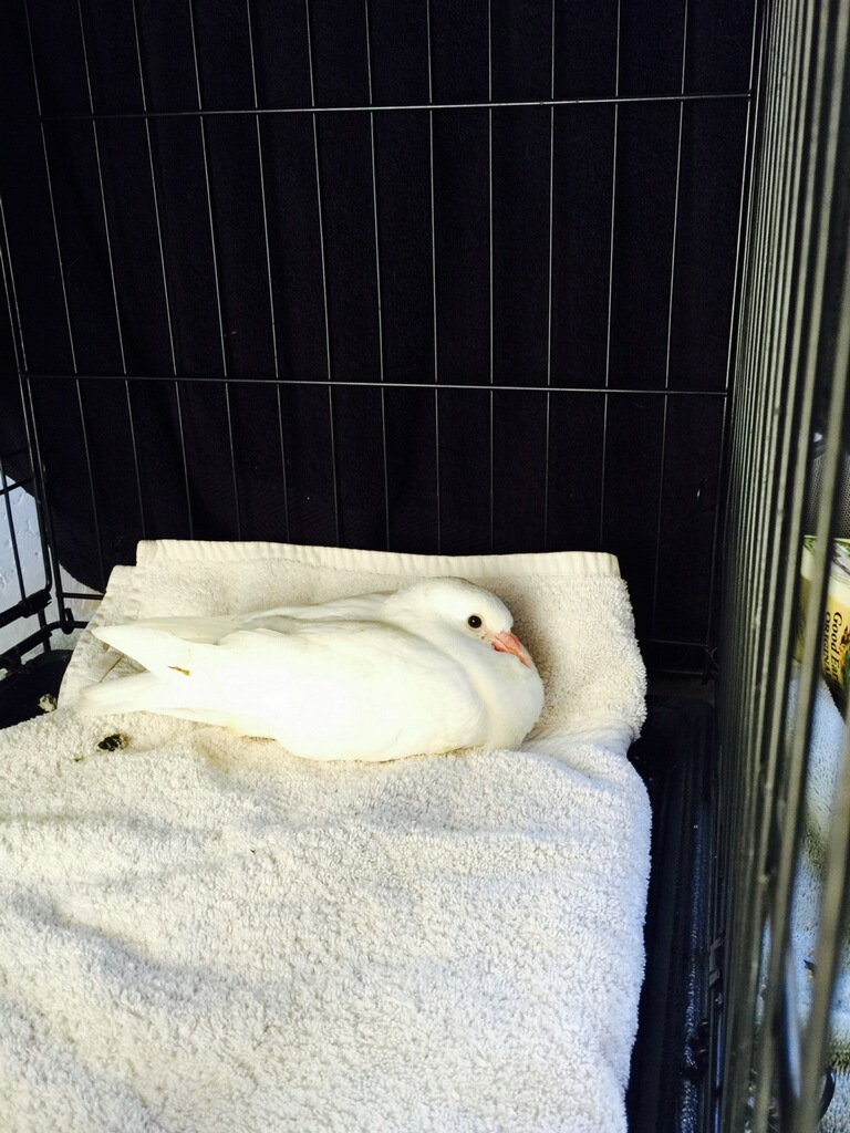 Rescued pigeon youngster Whimsy had a respiratory infection