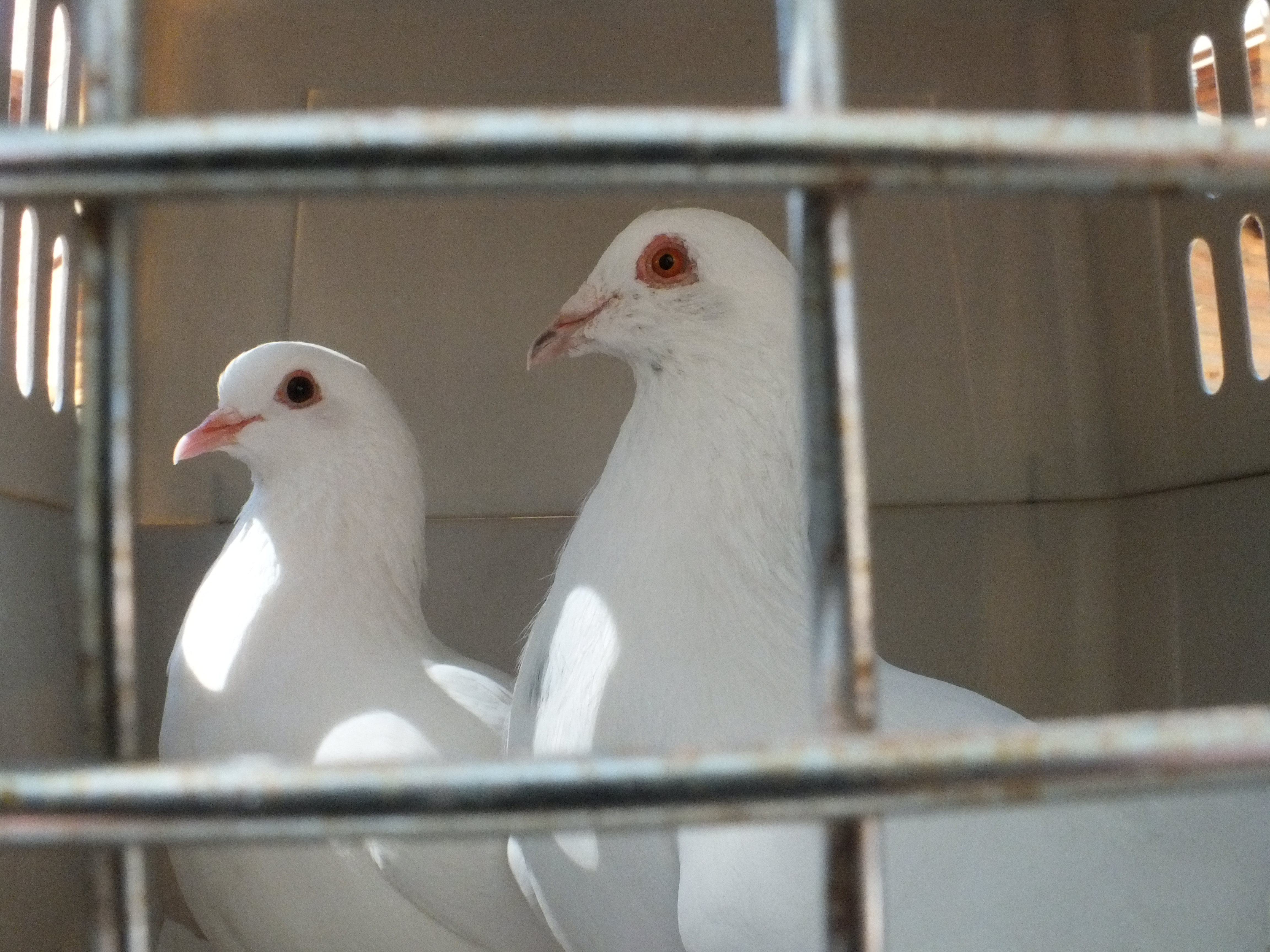 Rescued pigeons Maya & Boo waiting patiently in their crate