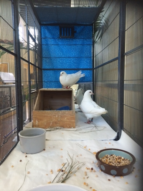 Rescued King Pigeons Minnie & Mighty in a double-flight cage with paper cage liners for easy clean up
