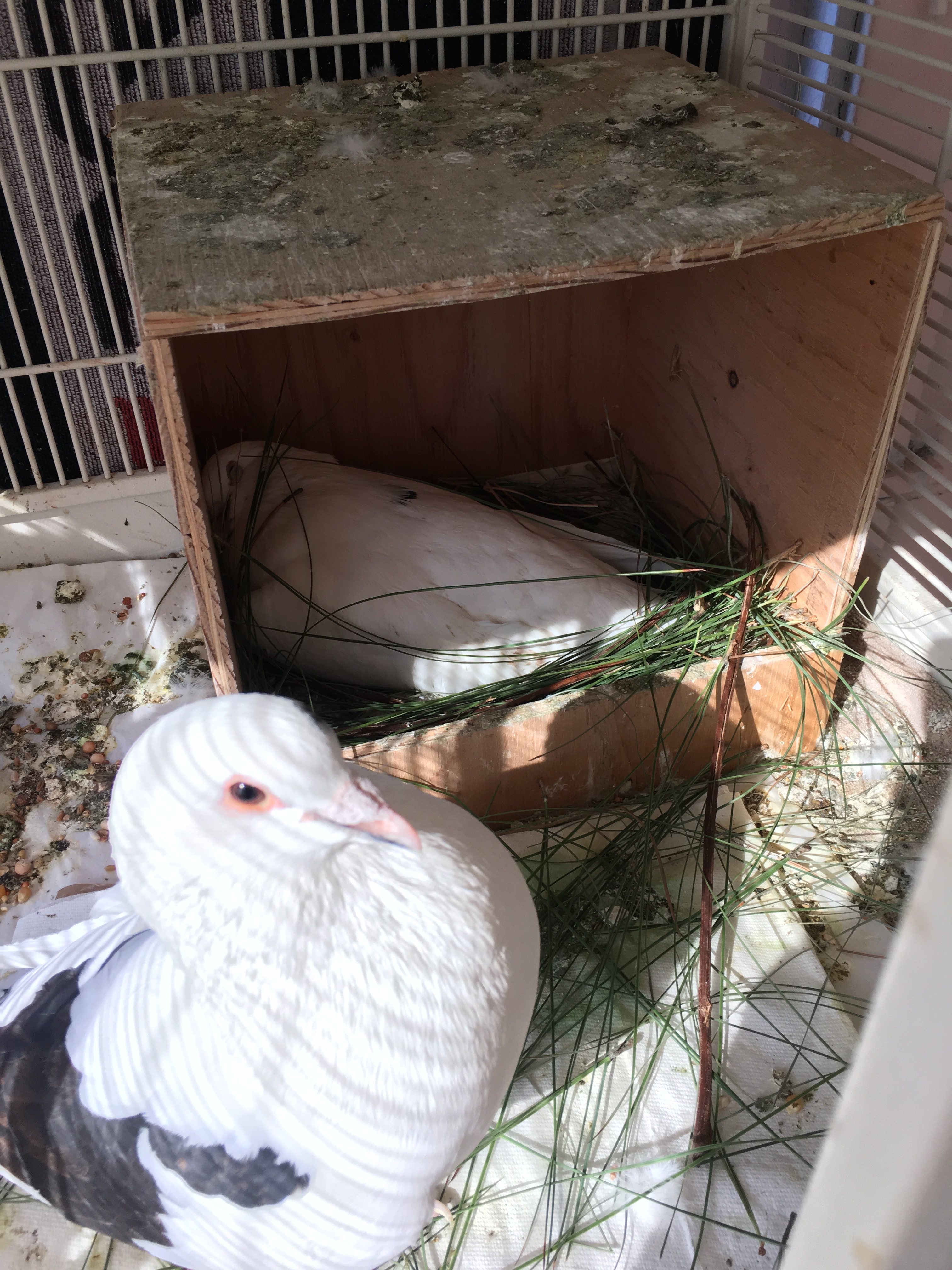 Dallas kept busy bringing pine needles to the nest all day