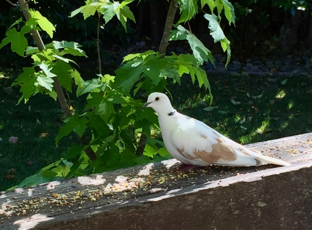 Stray, domestic Ringneck dove living on borrowed time