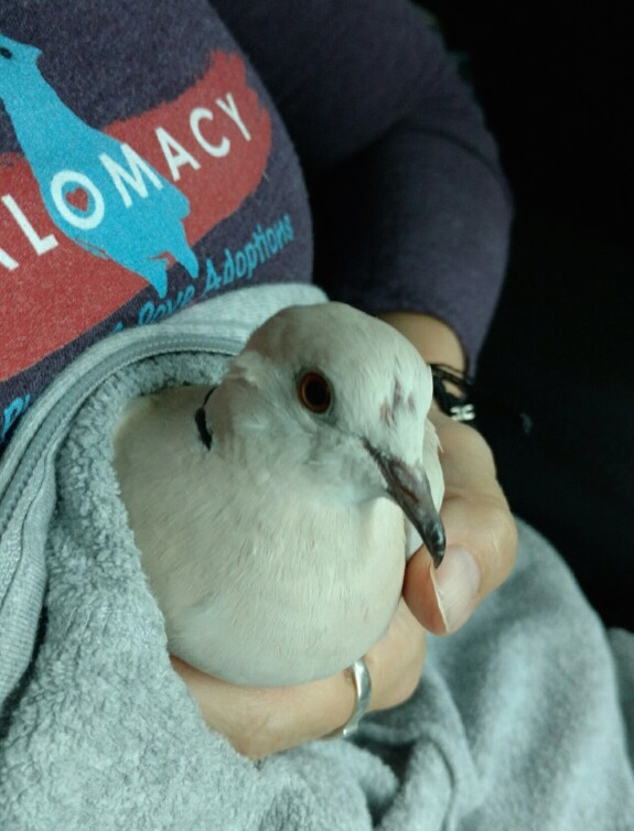 Rescued Ringneck dove in loving volunteer's hands