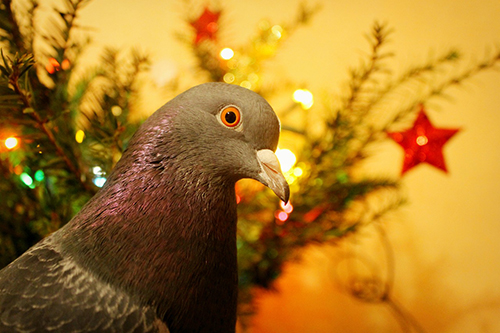 pigeonchristmas