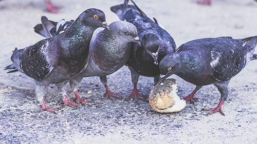 pigeonslunchmeeting