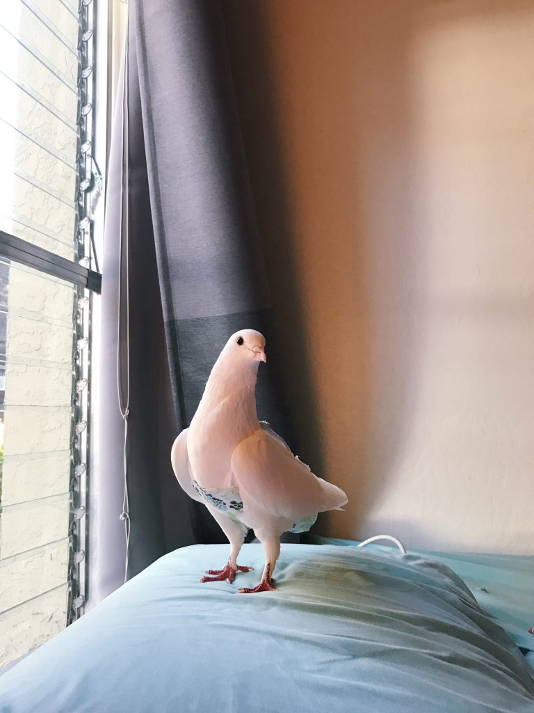 Beautiful happy pigeon