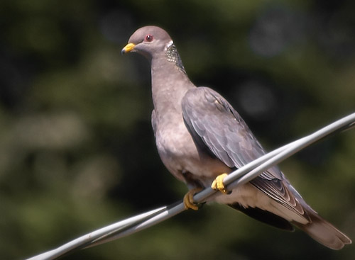 Band-tailed pigeon on a utility wire in California