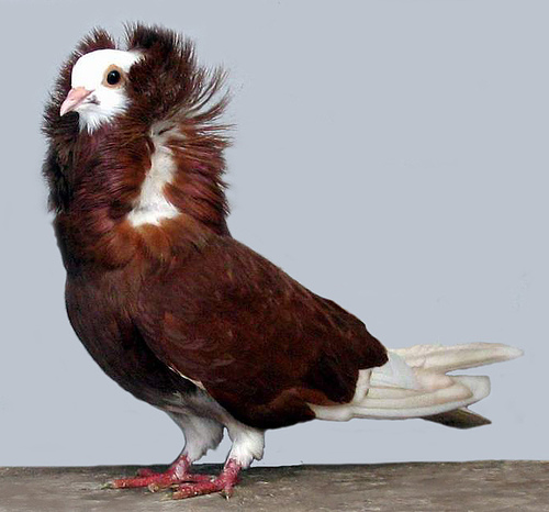 Red Capuchin Fancy Pigeon