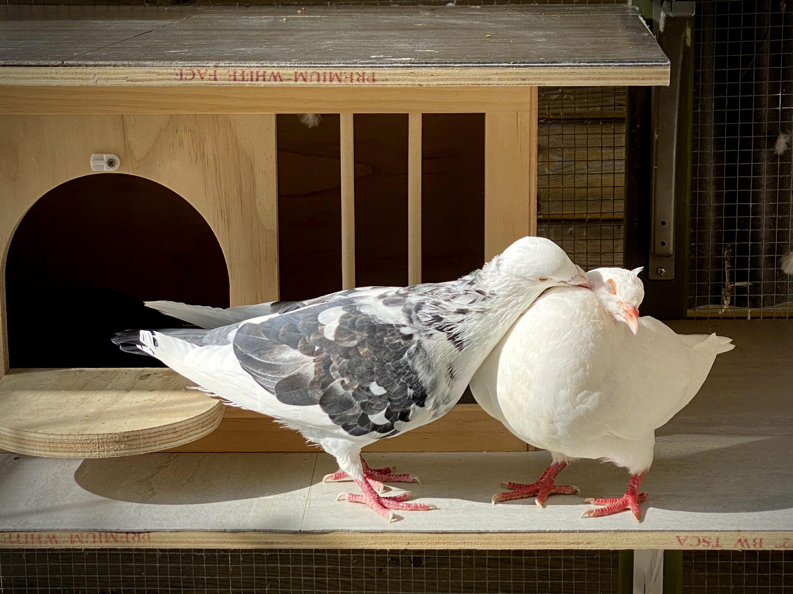 www.pigeonrescue.org